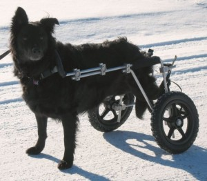 Isabel Paralyzed dog on her wheels 300x262 Paralyzed Dog Saved From Death Due to Chicken Jerky Dog Treats From China